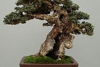 Tips menanam dan merawat tanaman bonsai