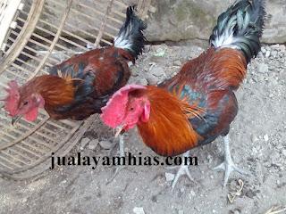 Ayam Pelung Dewasa