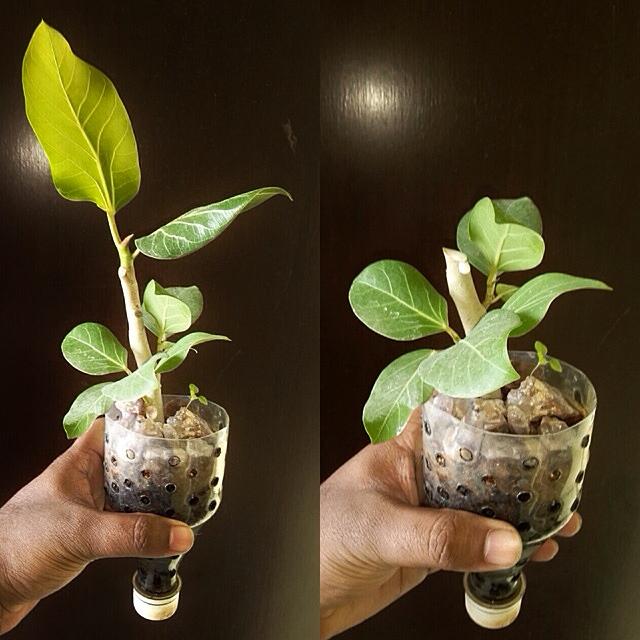 Banyan Tree Apartments: Everyone: Banyan Tree Cutting 1
