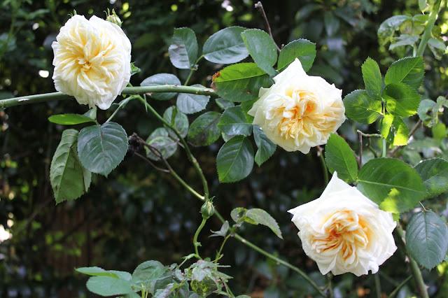 Gloire du Dijon rose