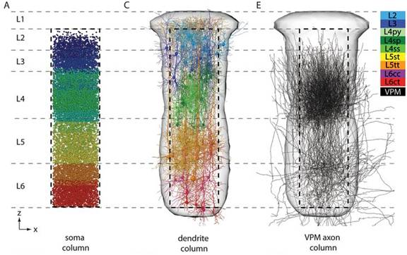 3-D Model of thalamocortical circuits between VPM axon, dendrite and soma columns.