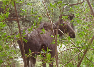 Young moose looking back through the brush.