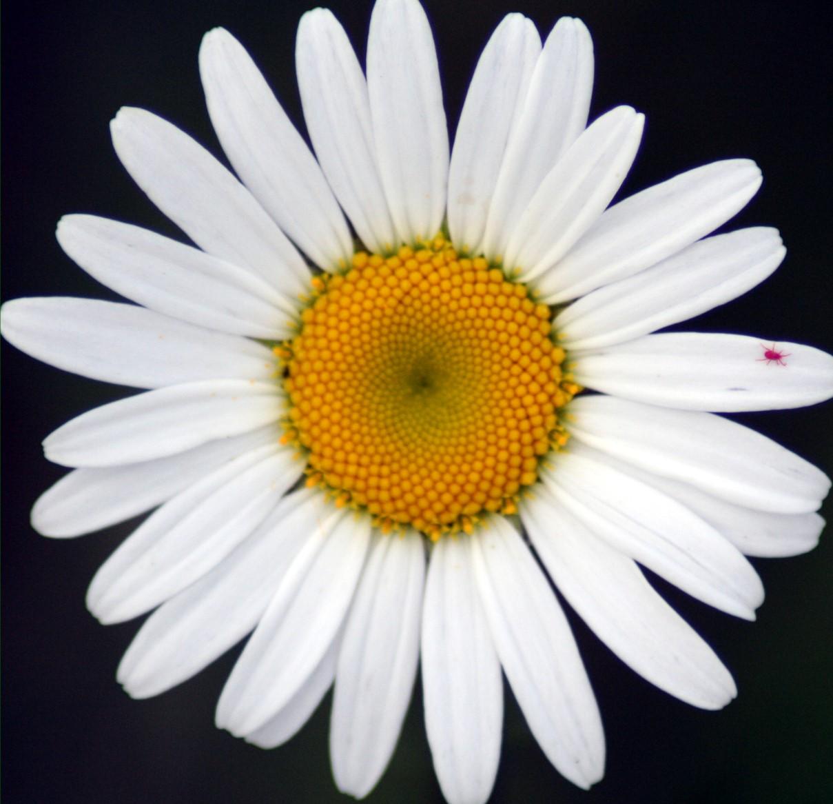 Flower Picture: Daisy Flower # 4