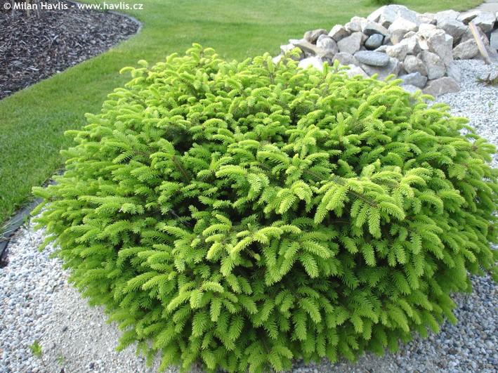 Abies norway spruce picea abies norway spruce as ornamental tree