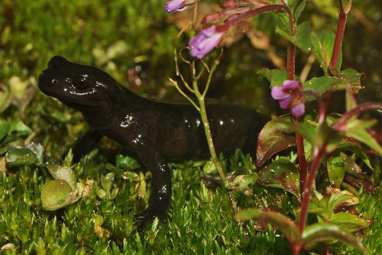 Amphibians: Lanza's Alpine Salamander, Salamandra lanzai