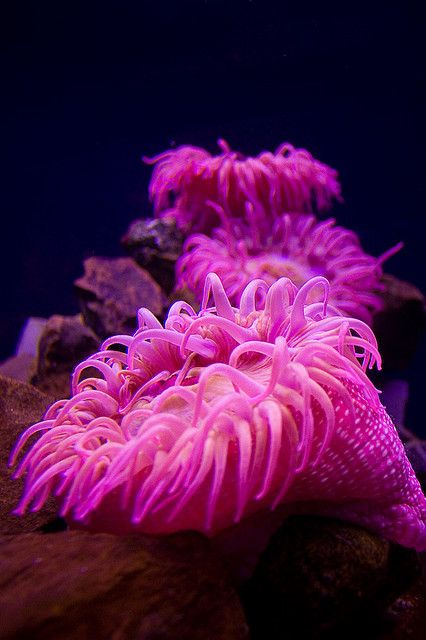 Bright Pink Sea Anemones at the Oklahoma Aquarium Photo by BrettMorrison