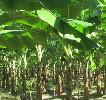 Image result for plantain farming