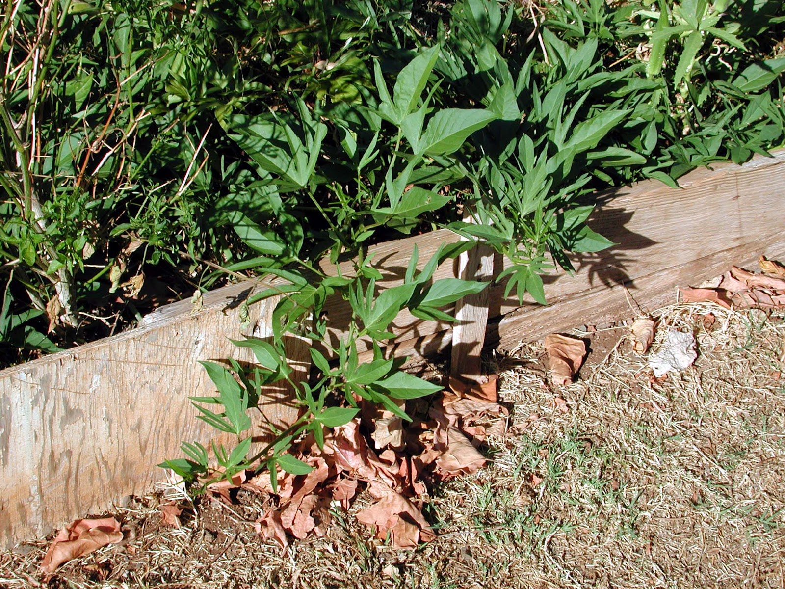Sweet Potatoes Prefer Well Drained Soil If Is Not Available Raised Beds