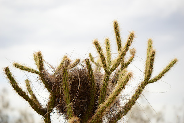 journal of a thousand things, amy myers, photography, desert, sonoran, birds nest, arroyo, cholla, cactus, opuntia