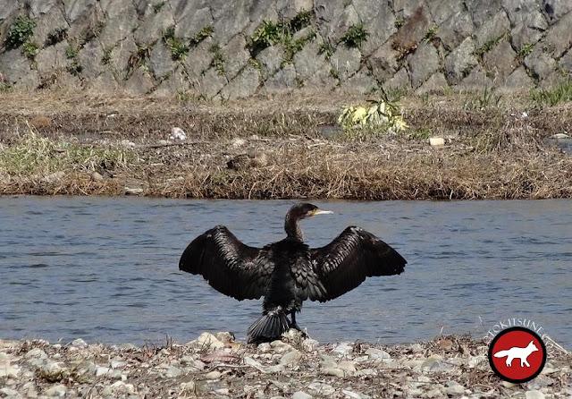 cormoran de la rivière Kamo à Kyoto