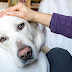 Τι χρησιμεύουν τα μη Στεροειδή Αντιφλεγμονώδη στο σκύλο;...