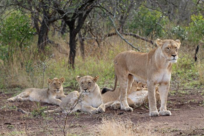 Löwenrudel in Phinda