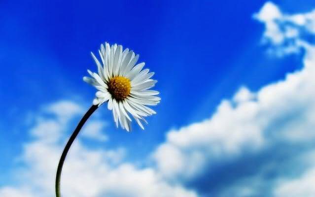 Ảnh hoa cúc dại trắng