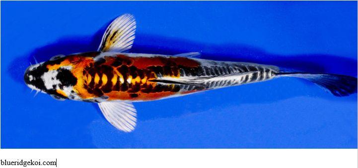 Gambar Ikan Koi Kin Kikokuryu