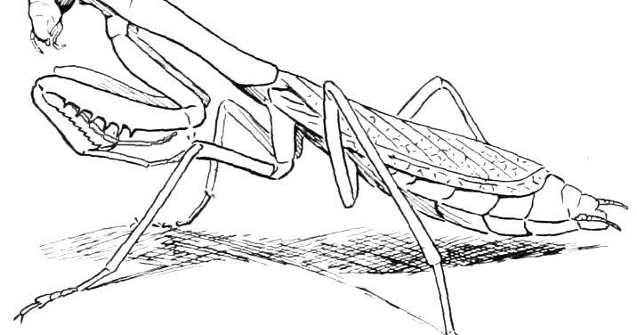 coloring pages of praying mantis | Praying Mantis Coloring Page | Crayon Palace