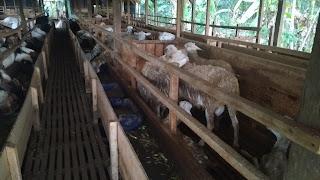 menentukan usia ternak kambing dan domba