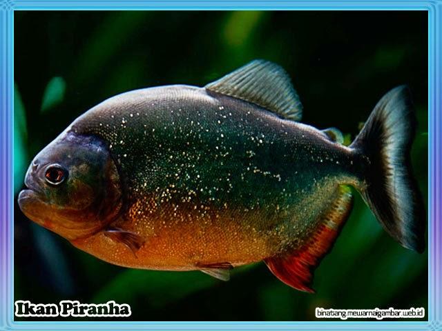 gambar ikan piranha