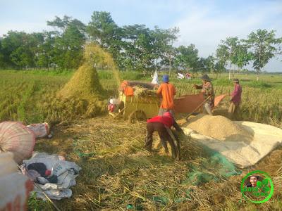 Kesibukan panen padi menggunakan mesin perontok padi / cruser