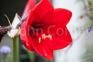 Deep red amaryllis flower