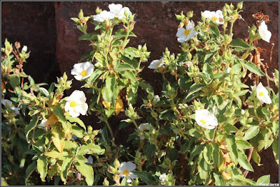 Jara pringosa en primavera (Chequilla)
