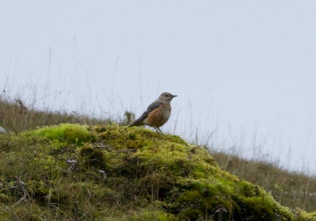 Rock Thrush - Pwll-du, South Wales