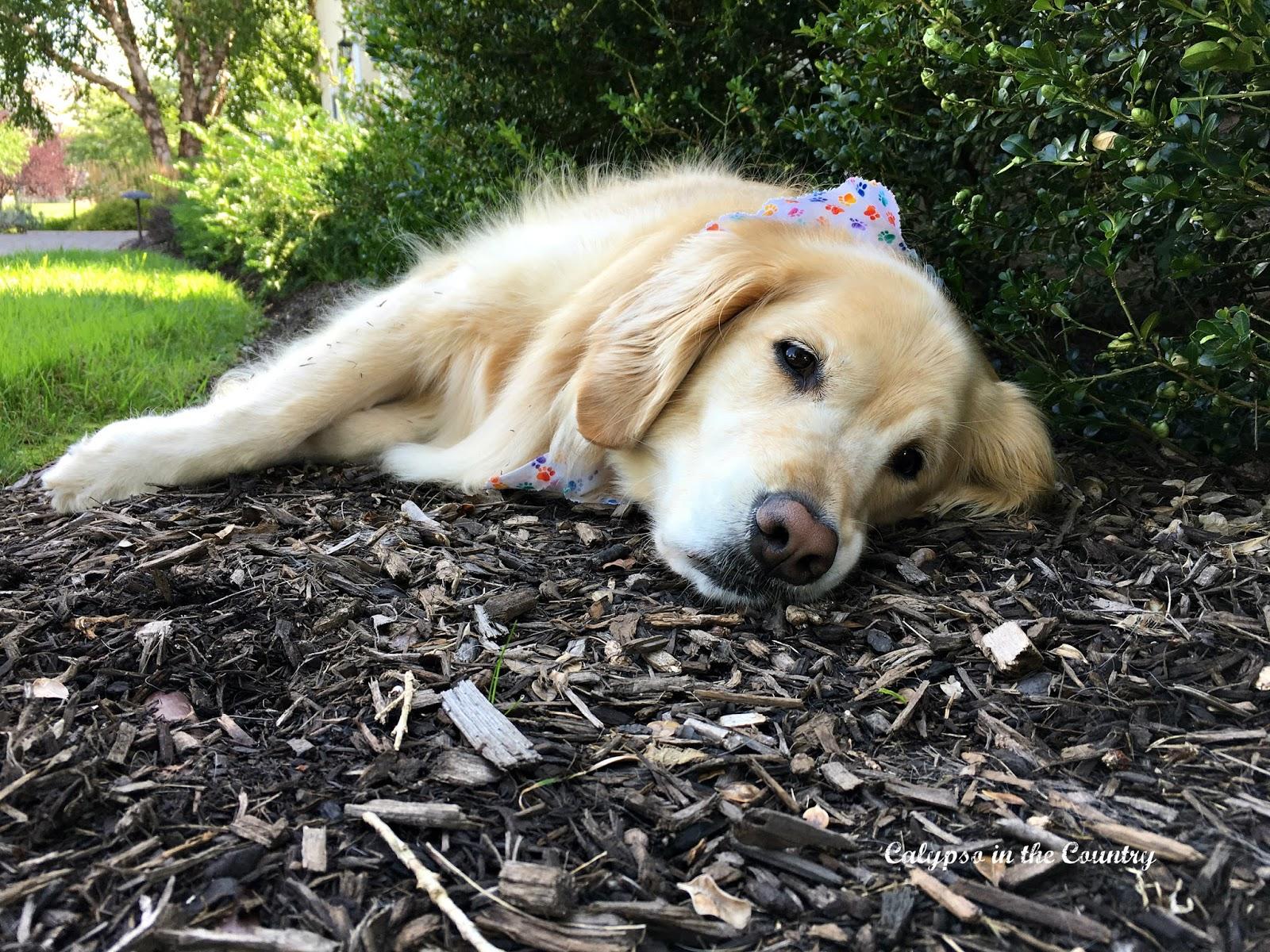Sleepy Golden Retriever