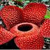 10 Fakta Unik Bunga Rafflesia Arnoldi yang Belum Banyak Diketahui