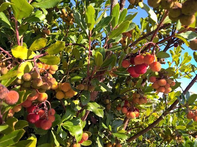 Frutti Maturi ed Immaturi Arbutus unedo