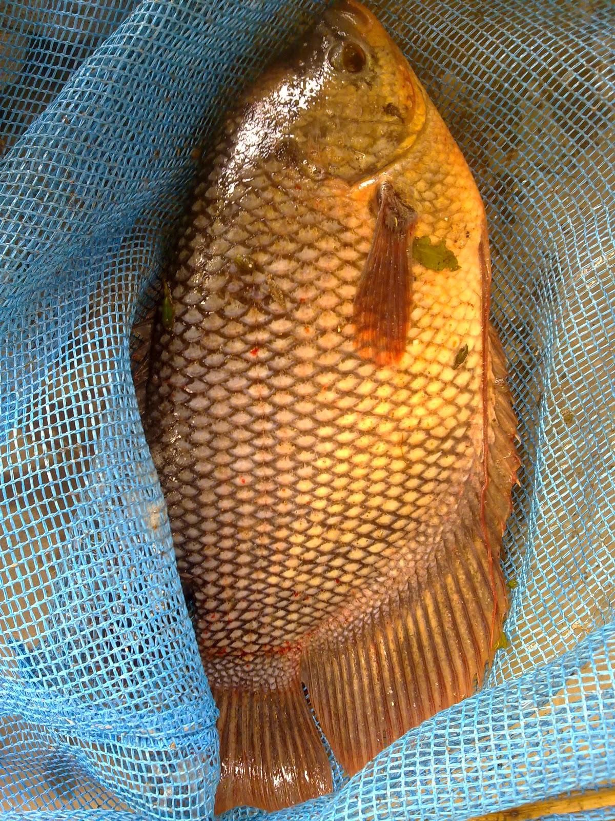 Indonesia Tourism Cara Jitu Atasi Penyakit Ikan Gurame
