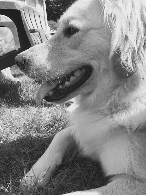 the profile of a golden retriever dog #blackandwhitesunday