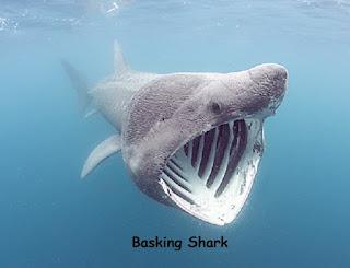 ikan hiu basking atau penjemur