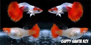 100 Jenis Macam Dan Type Guppy Versi Jualguppy Com Sale Guppy Fish Indonesia