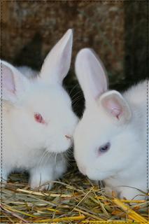 coelhos brancos namorando