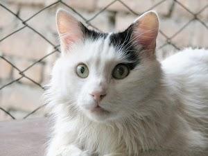 القط الفان التركي