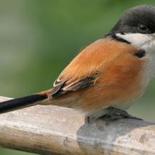 Cara Merawat Burung Cendet Agar Tidak Ngedrop Di Musim Hujan