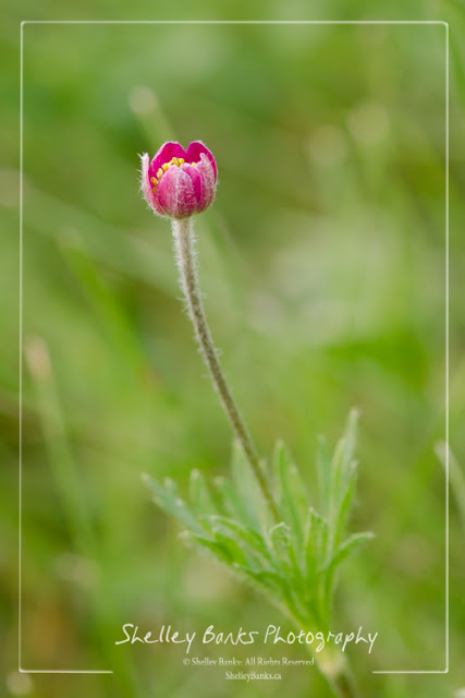 Cut-leaved Anemone. Copyright © Shelley Banks. All Rights Reserved.