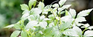เจียวกู่หลาน Thai Herb ช่วยนอนหลับ ลดคลอเรสเตอรอล ลดความดัน บำรุงร่างกาย