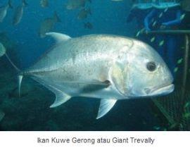 Ikan Laut Konsumsi - Ikan Kuwe Gerong (Giant Trevally)