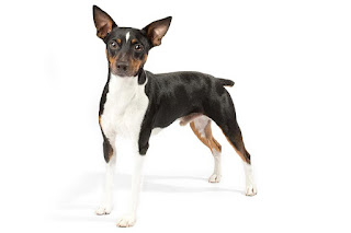 Everything about your Rat Terrier