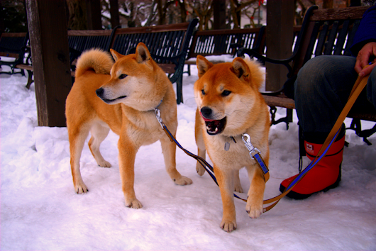 The cute brothers met at Matsumoto Castle (Japanese Shiba inu / 柴犬)