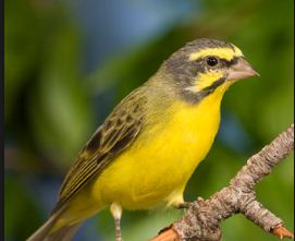 Cara Mengatasi Burung Kenari Malas Berkicau