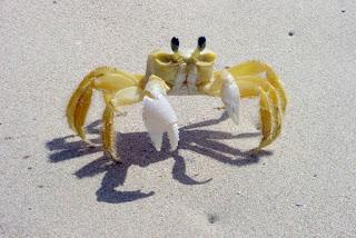 http://www.allfiveoceans.com/2016/10/atlantic-ghost-crab.html