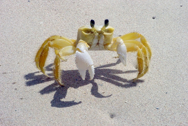 Atlantic ghost crabs
