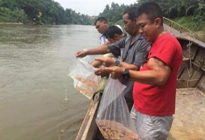 Menebar Benih Ikan Nila Ke Sungai Lokal, Perlukah?