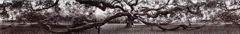 Photographie panoramique de John Yang d'un chêne