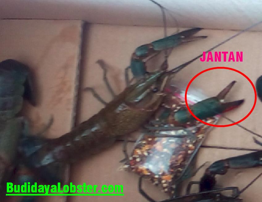 Cara Mudah Bedakan Lobster Air Tawar Jantan Dan Betina Serbakuis