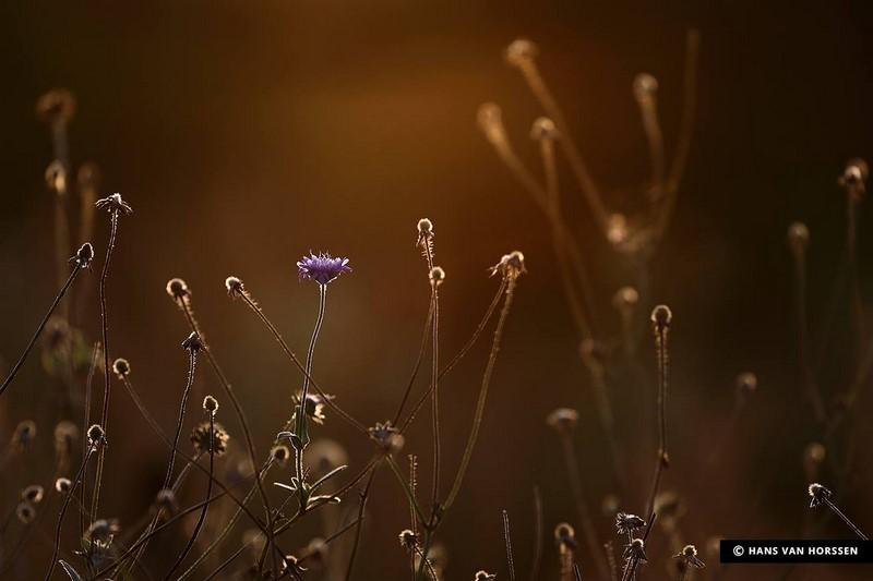 Knautia arvensis en Vlinderhof
