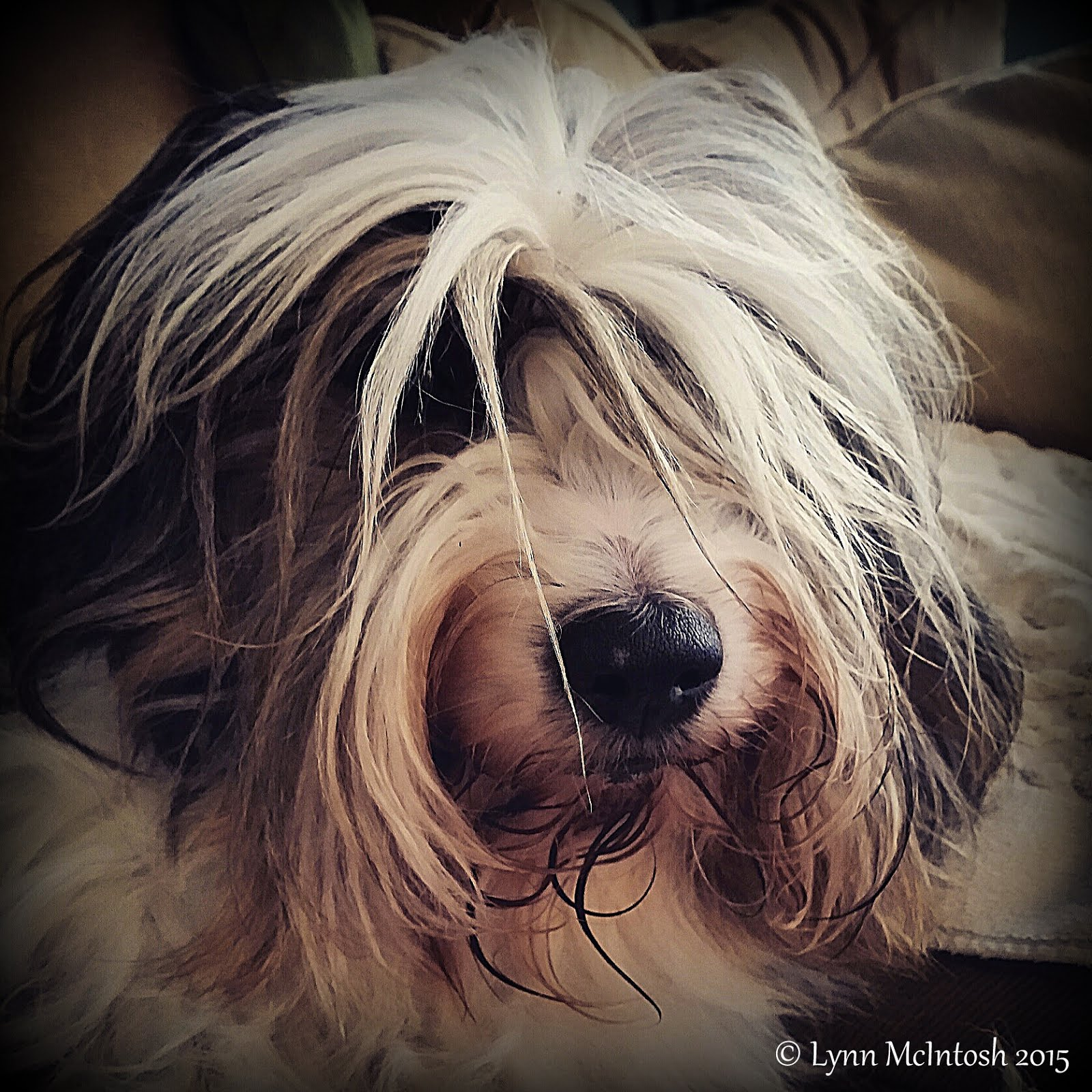 Flash our sweet Tibetan Terrier
