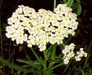 Milenrama planta