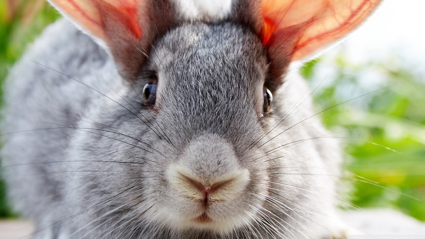 Foto dan gambar imut kelinci ku amat lucu lucu ternak kelinci hias kelinci hias kelinci merawat kelinci